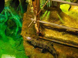 Faunia animal park big caiman