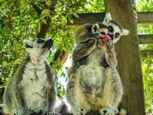 Faunia animal park madagascar lemur